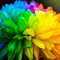 Color Seeds 20PCS Home Flower Indoor Flowers Garden Chrysanthemum Rainbow Rare