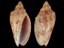 Cymbiola pulchra pulchra - Shells from all over the World NEW!!!