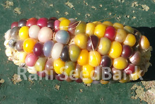 Corn Light Out - A Rare, Stunning Multicoloured Corn Variety!!! - 5 Seeds