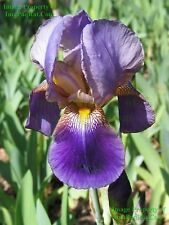 Beautiful, Lent A Williamson, Purple, Tall, Fragrant, Bearded Iris Rhizome