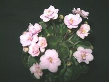 African Violet Plant Orchards Bumblw Magnet Semiminiature