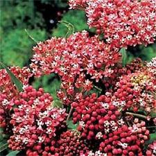 20 CINDERELLA MILKWEED Asclepias Incarnata Flower Seeds