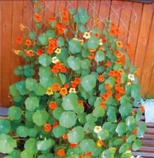 Nasturtium *Tropaeolum majus lobbianum*  curly mix Flower Seeds