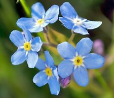 FORGET ME NOT FLOWER SEEDS 100 FRESH SEEDS FREE SHIPPING