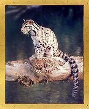 Snow Leopard Exotic Big Cat Wildlife Animal Wall Decor Golden Art Framed Picture