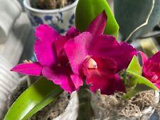 New listing Potinara Higher Multiplier x Paradise Rose Cattleya Orchid plant