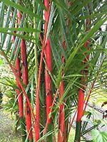 15 Graines Cyrtostachys Renda Palmier A Tronc Rouge Lipstick Palm