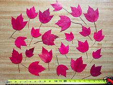 25 Red Sunset Maple Pressed Leaves For Arts, Crafts and Home Decor