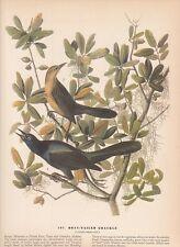 """1942 Vintage AUDUBON BIRDS #187 """"BOAT TAILED GRACKLE"""" Color Art Plate Lithograph"""