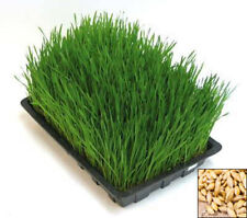 Sprouting seeds - YOUNG BARLEY GRASS - 30 GRAMS / 1 oz Sprouts #1112
