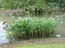 2 bulbs ALLIGATOR FLAG FIRE FLAG THALIA GENICULATA POND PLANT