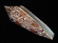 Sea Shells Conus bengalensis 115mm ID#5110