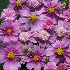 Cosmos Seeds - Pink Pop Socks - Easy to Grow - Cosmos Bipinnatus - 25 Seeds
