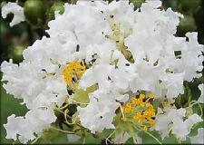 White Crape Myrtle crepe tree shrub seeds - 40+ - Lagerstroemia - combine ship