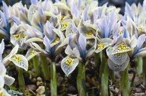 Dwarf Iris 'Katharine Hodgkin' Spring Flowering Bulbs Pack 10