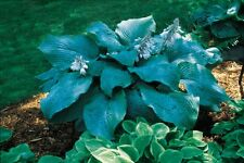 BLUE MAMMOTH HOSTA PLANT large leaves matures at 5' wide