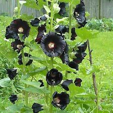 HOLLYHOCK The Watchman Seeds (F 428)
