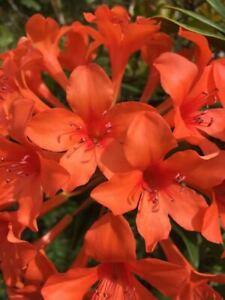 Rhododendron verticillatum *MASSIVE UMBELS* epiphyte VIREYA orchid *VERY RARE*