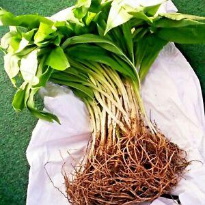 Wild Garlic Bulbs Freshly Lifted Allium Ursinum Plant with Bluebells & Snowdrops