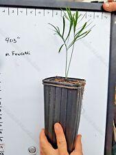 FREE SHIPPING Macrozamia Fawcettii 1Gallon Seedling Encephalartos Cycas Cycad