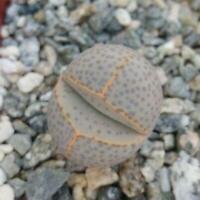 Dinteranthus wilmottianus Cactus Cacti Succulent Real Live Plant