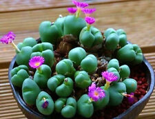 Argyroderma framesii, rare mesembs exotic succulent cactus seed stones 50 Seeds