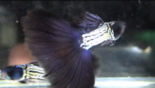 QUALITY GUPPY  METAL BLACK SILVER LACE 1PAIR (1MALE+1FEMALE)