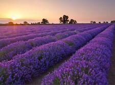 Lavender angustifolia sweet Crimean Herb Seeds from Ukraine