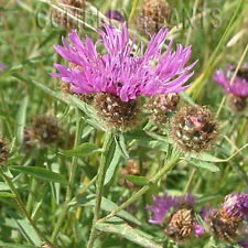 COMMON KNAPWEED WILDFLOWER FOR BIRDS & BEES - 400 SEEDS - wild flower seed