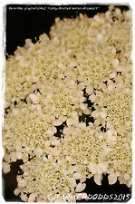 Oenanthe pimpinelloides 'Corky-fruited water-dropwort' [Ex. Dorset] 200+ SEEDS