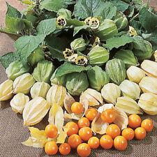 "Cape Gooseberry  ""PHYSALIS peruviana"" 50 Seeds"