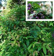 TINKLING SATINASH Syzygium alatoramulum white flowers plant  in 140mm pot