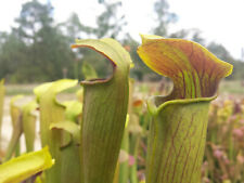 "Carnivorous Pitcher Plant: Sarracenia alata ""Heavy Viens"""