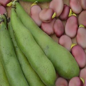 Broad Bean - Karmazyn - 55 Seeds