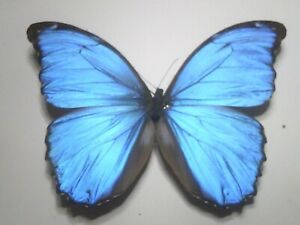 Real Butterfly/Insect/Moth Non Set B7811 Rare Blue Morpho menelaus alexandrovna