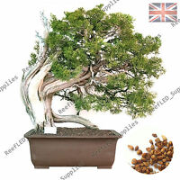 Rare Japanese Juniper Bonsai Tree, Juniperus Chinensis Plant - 10 Viable Seeds