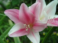 Crinum Lily, Carnival #03, jumbo, blooming-size bulb, NEW, stunning, RARE