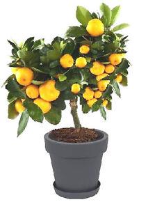 2 x Blutorangenbaum Citrus sinensis Obstbäume für drinnen den Balkon das Fenster