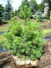 "5 loblolly pine tree seedlings wild grown 3-6"" perfect transplant size FAST GRO"