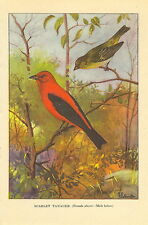Antique Vintage Scarce T.E. Todhunter Bird Print ~ Scarlet Tanager