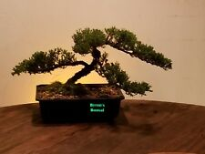 Juniper bonsai tree On Sale Now. Spring Sale Everything looks awesome