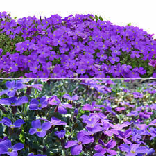 220 pcs Cascade Purple Aubrieta Flower Seeds Perennial Ground Cover Romantic Hot