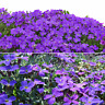 220 pcs Cascade Purple Aubrieta Flower Seeds Perennial Ground Cover Romantic Hot