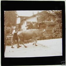 Nice Glass Magic lantern slide COW BEING DRIVEN ALONG THE ROAD C1910 EUROPEAN
