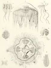 NATURE MEDUSAE HAECKEL SCIENCE PLATE LARGE WALL ART PRINT POSTER PICTURE LF2045