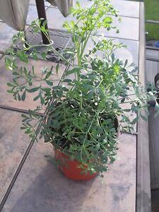 Ruda Plant ,Common Rue, Ruta Graveolens Herb of Grace ,Butterfly Attractor