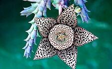 10 stapelie variegata SEMI ORCHIDEA DEL DESERTO raro no caralluma Orbea korn semillas