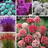 50 PCS Seeds Armeria Maritima Bonsai Sea Thrift Mix Colors Seagrass Plants Rare