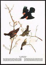 1930s Original Vintage Audubon Red Wing Bird Art Print