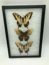 """Glass Framed 3 Butterfly Moth Specimen Wing Insect Taxidermy Mount Art 12"""" H"""